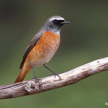 Colirrojo real - Common redstart - Phoenicurus phoenicurus