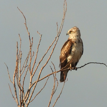 Águila culebrera - Short-toed Eagle - Circaetus gallicus